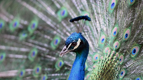 A peacock shows his colours in 'Magan Zoo Abony', a private zoo east of Budapest, Hungary