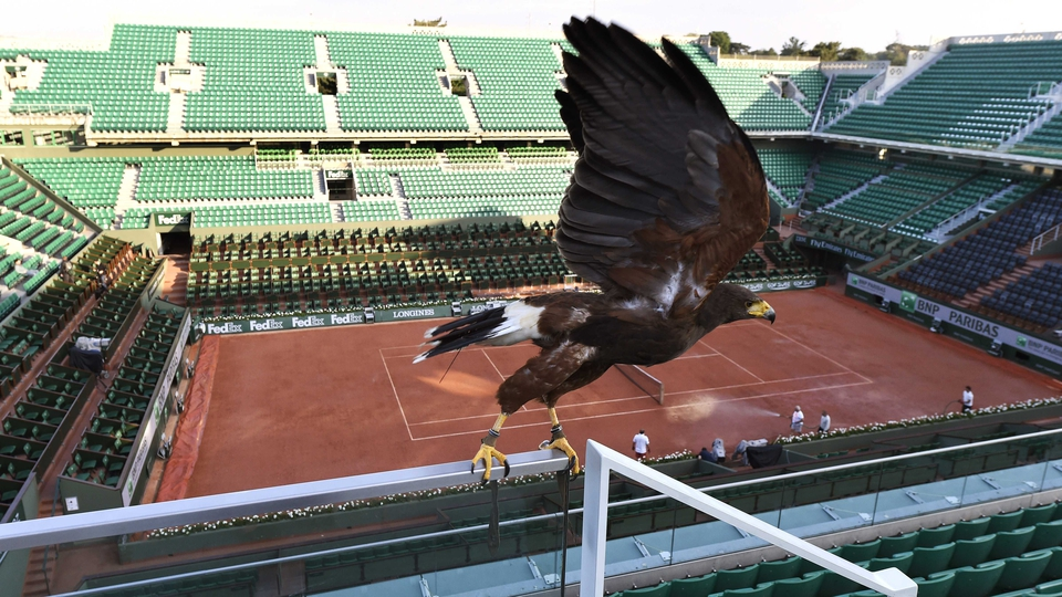 Tara, a buzzard used by a falconer during the French Open to keep pigeons out, patrols the Roland Garros court