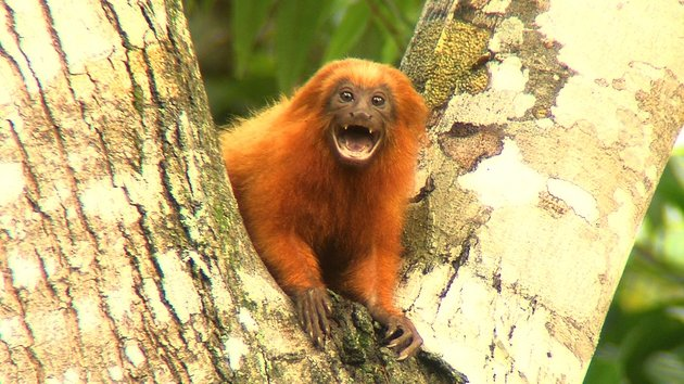 In Thursday's episode, zookeeper Susan O'Brien lives the dream by travelling to the Atlantic Rainforest of Brazil to see the golden lion tamarins in the wild