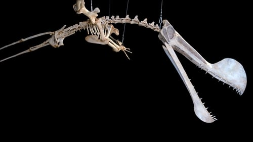 A replica of the fossil of a Pterosaur at the National Museum of the Federal University of Rio de Janeiro, Brazil