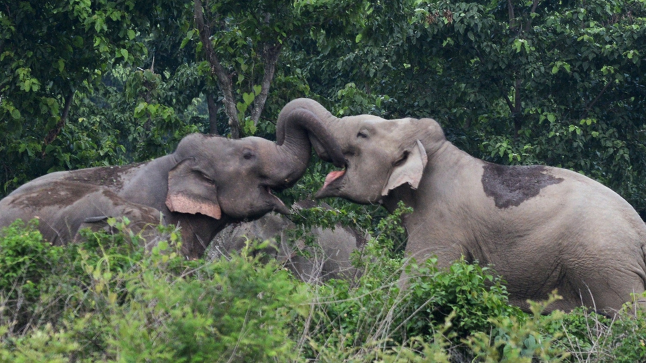 A pair of wild elephants lock trunks as they stray close to Kolabari village in the state of West Bengal, India
