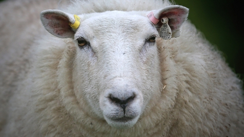 Scientists have mapped the entire genome of sheep