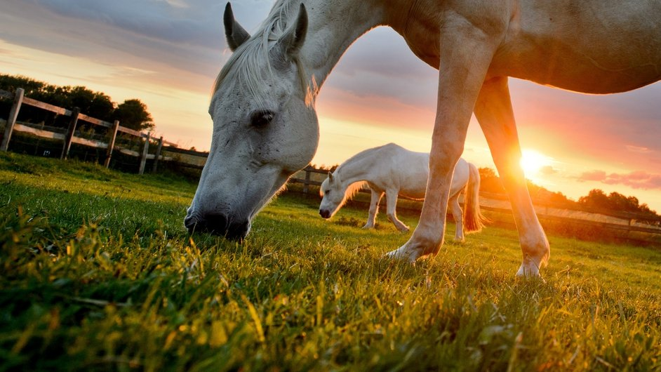 Two horses graze in a paddock near Sehnde, in the region of Hanover, northern Germany at sunset