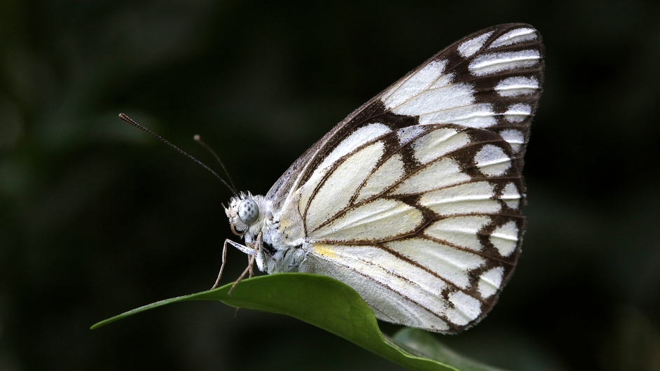 A Common Pierrot butterfly rests on a leaf in New Delhi, India