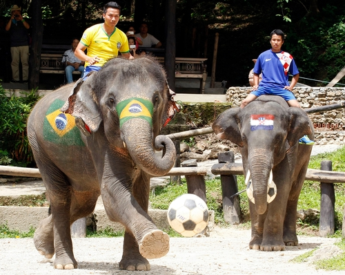 Elephants in Thailand painted with the Brazilian and Croatian national flags at an elephant soccer show to promote the upcoming World Cup