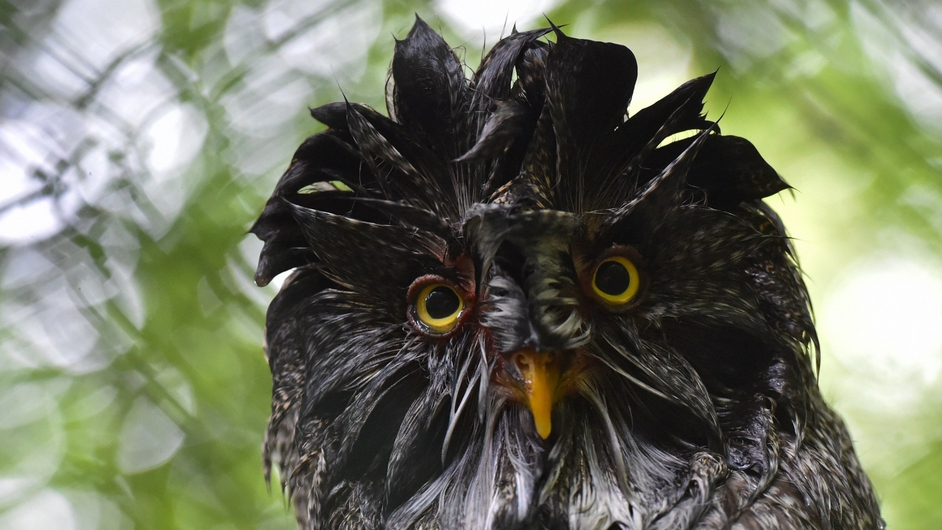 A wet owl is pictured in a zoo after rainfall in Eberswalde, Germany