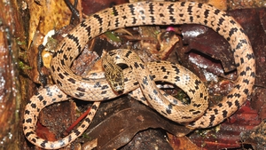 A distinctively patterned new species of a wolf snake from the Cardamom mountains of southwest Cambodia