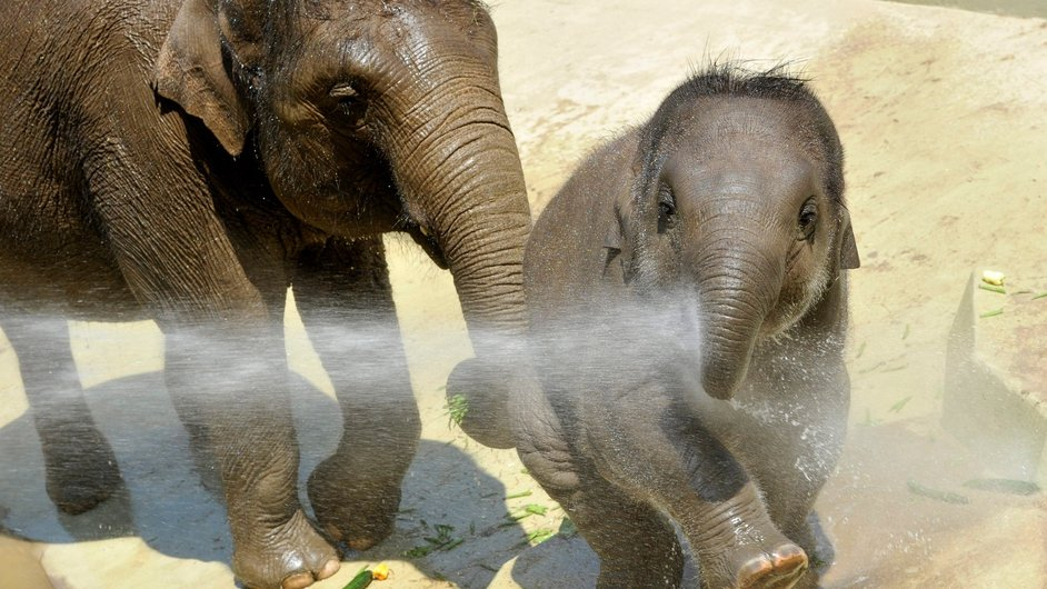 Indian elephant calf Asha and her mother Angele enjoy being watered down in their enclosure in the Budapest Zoo