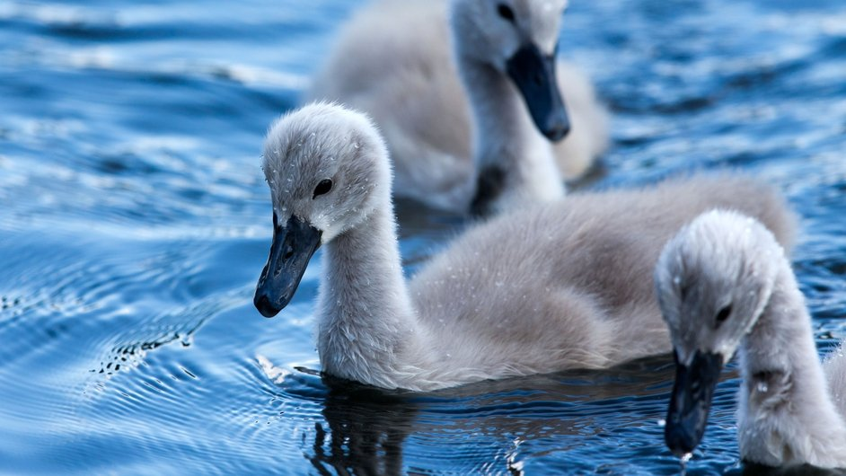 Young swans swim on the Elde in Plau am See, Germany