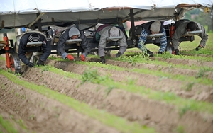 Workers weed an organic carrot field in Kassel, Germany