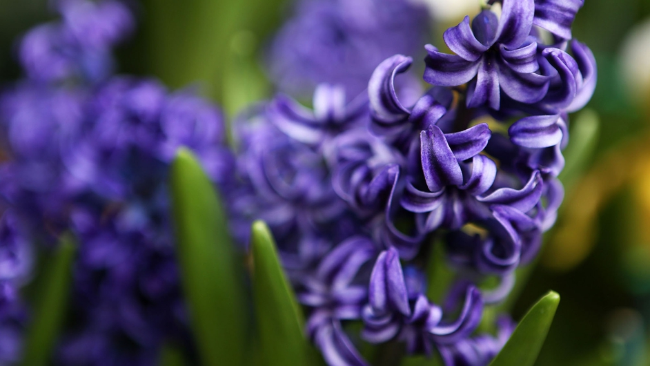 Blue Hyacinths at the Auckland Domain Wintergardens, New Zealand