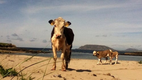 Life's a beach for these cows