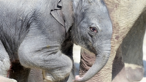 A newborn elephant explores their compound for the first time in Zurich zoo, Switzerland