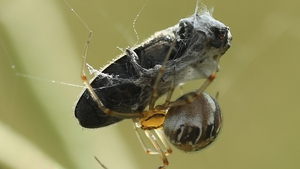 A spider ensnares an insect as prey in a field near Wernitz, Germany