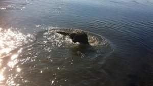 Vegas the dog cools down in the water at Bettystown beach, Co Meath (Pic: Fiona Martin)