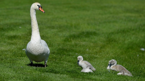 A swan and her cygnet's walk onto the 14th fairway during Pro-Am day at the Irish Open at Fota Island