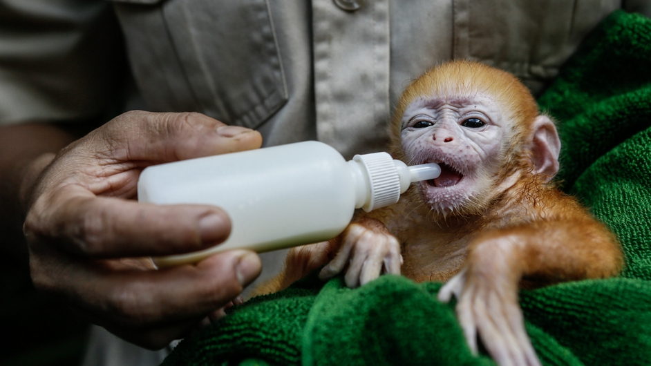 A zookeeper feeds milk to a newborn baby Langur at Bali zoo, Indonesia