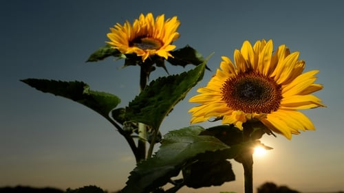 The sun sets behind sunflowers in a field near Ravensburg, Germany
