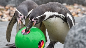 Penguins play with a World Cup-themed football at Lübbenau, Germany