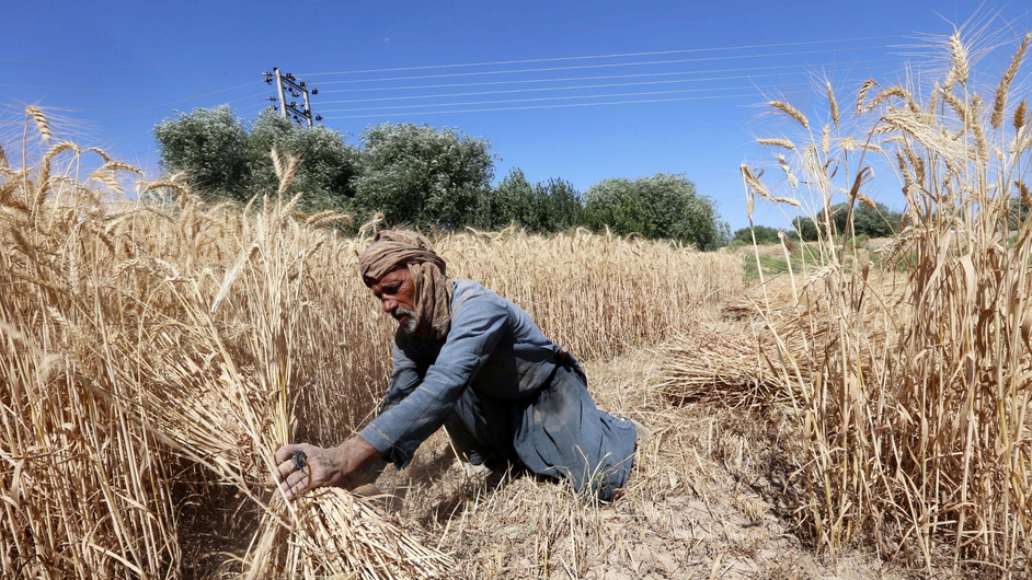 A man harvests wheat on the outskirts of Herat, Afghanistan