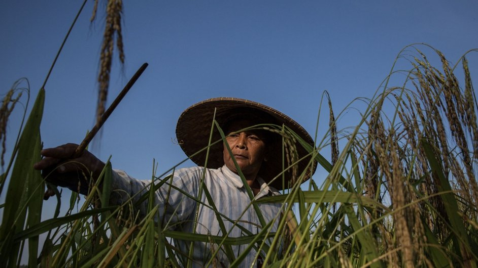 A farmer cuts stalks of rice using a special knife called 'anggapan' during harvest season in Bali, Indonesia