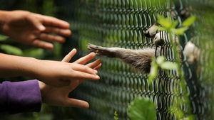 A racoon streches his hands through the bars towards children in the animal and plant park Fasanerie in Wiesbaden, Germany