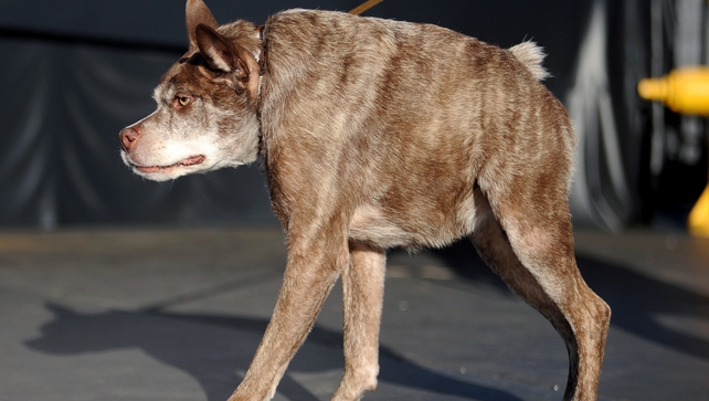 Quasi Modo, whom the owner claims has a back too short for its body, walks on the stage at The World's Ugliest Dog Competition