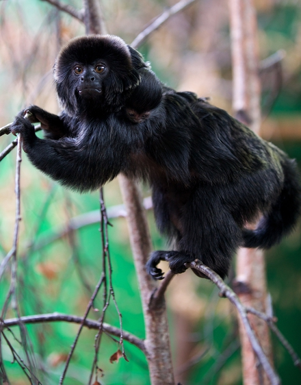 Goeldi's monkey baby
