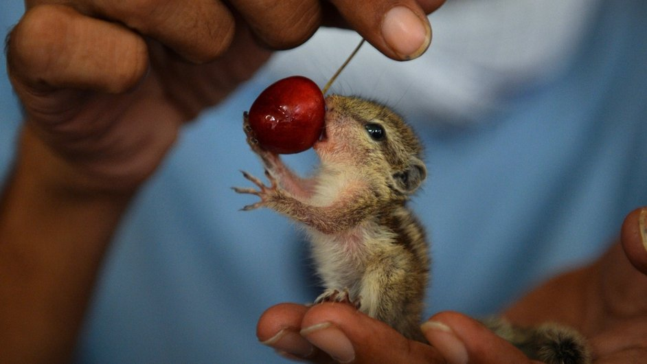 A young orphaned squirrel is fed a cherry in New Delhi, India, having been rescued from a tree which fell during a thunderstorm in the city