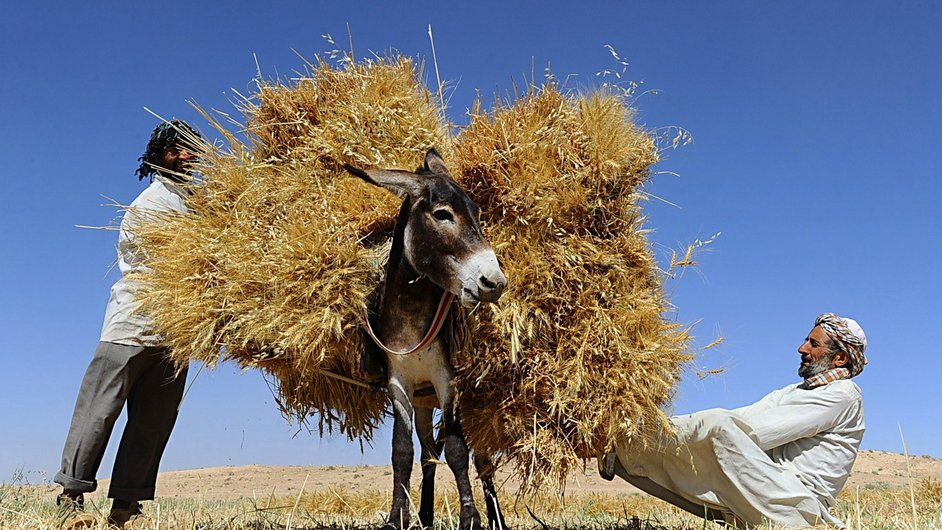 Afghan farmers load a donkey as they harvest wheat on the outskirts of Herat