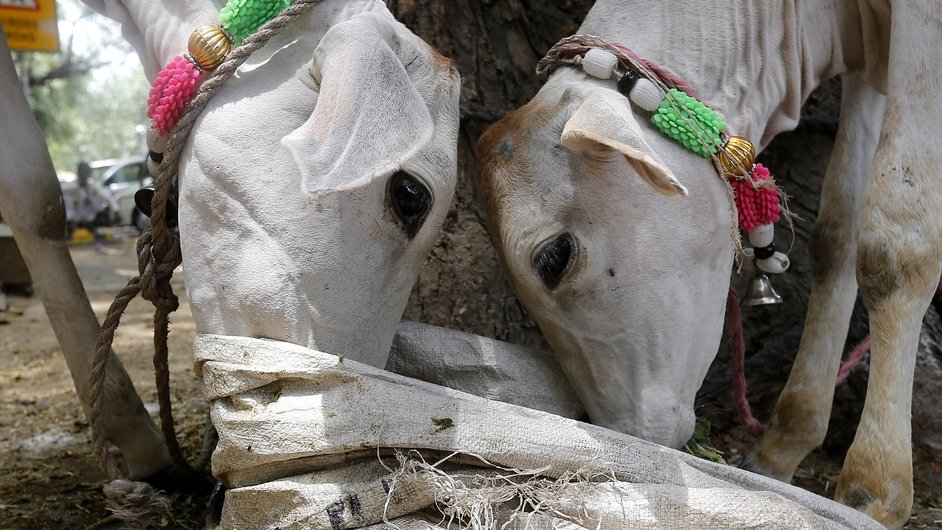 Domestic cows eat at the Indian parliament street in New Delhi, India