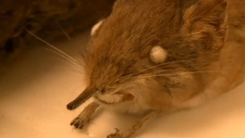 The diminutive shrew has a trunk-like nose.