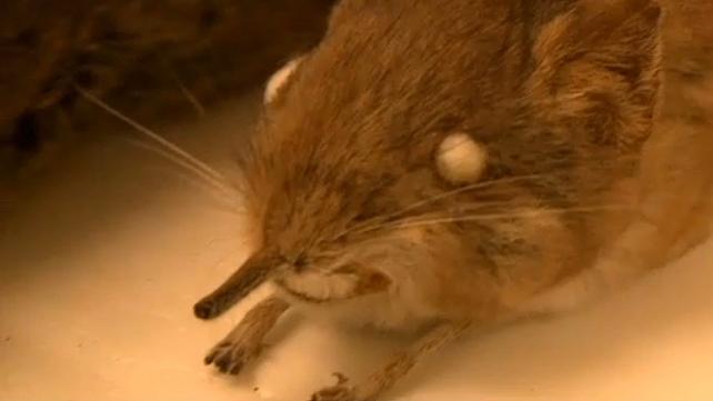The diminutive shrew has a trunk-like nose.