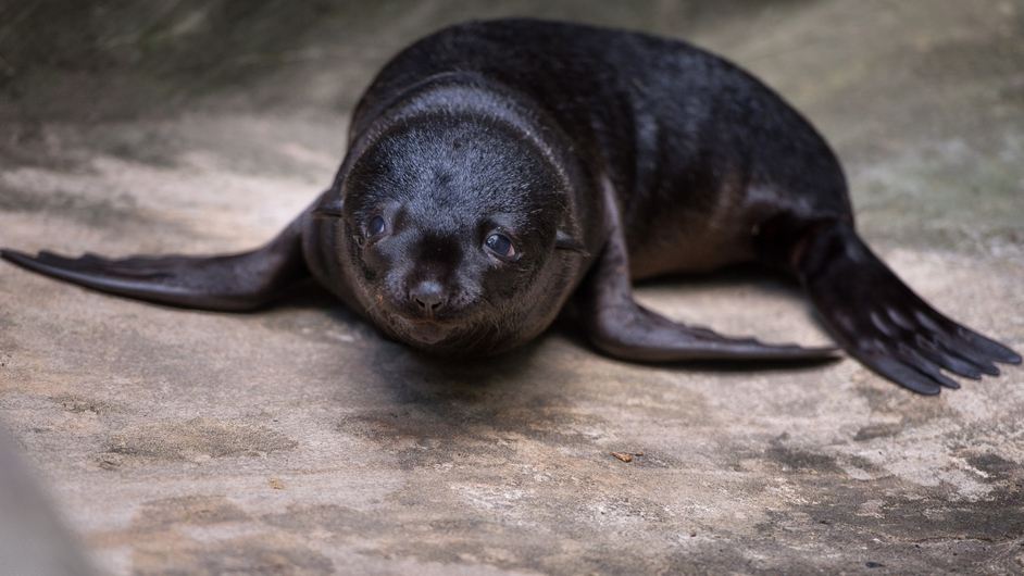A two-weeks old brown fur seal in its enclosure at Wroclaw Zoo, Poland