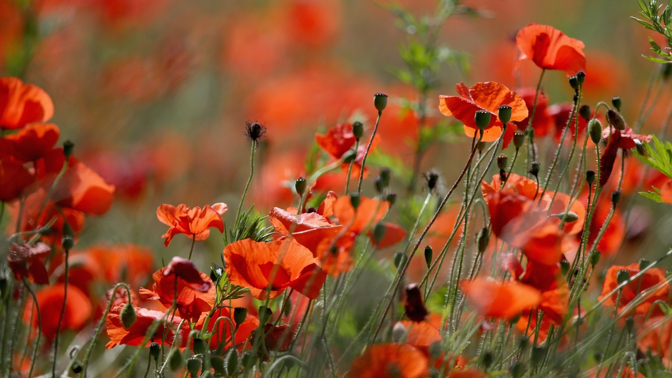 Wild poppies bloom at Blackstone Farm Fields in Bewdley, England