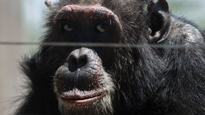 A male chimpanzee sits in an enclosure at the Sweetwaters Chimpanzee Sanctuary inside the Ol-Pejeta conservancy in Laikipia county, Kenya