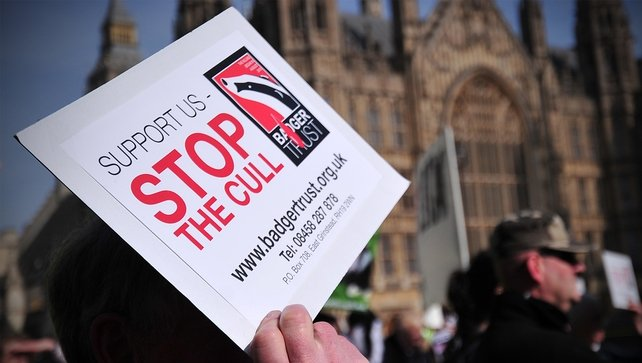 An anti-cull protester outside the British houses of parliament in London
