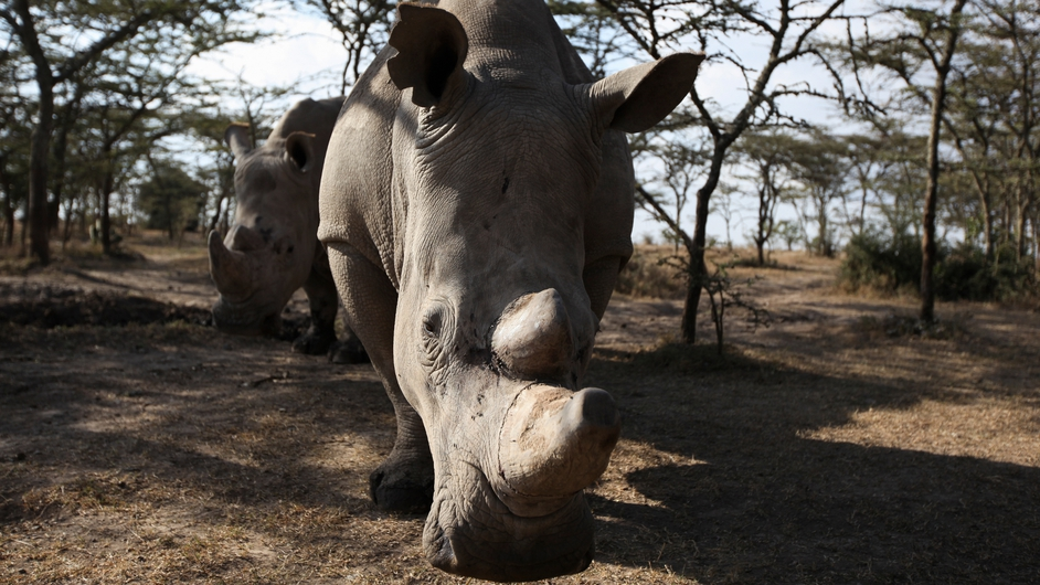 Southern White female rhinos Mojo (R) and Dauo (L) inside a sanctuary at the Ol-pejeta conservancy in Nanyuki, Laikipia county, Kenya