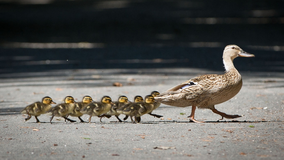 A mother duck crosses a footpath followed by her ducklings in Offenbach, Germany
