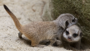 The pups were born at the end of May, but meerkat parents keep their young hidden in burrows for the first few weeks of their lives Photos: Patrick Bolger