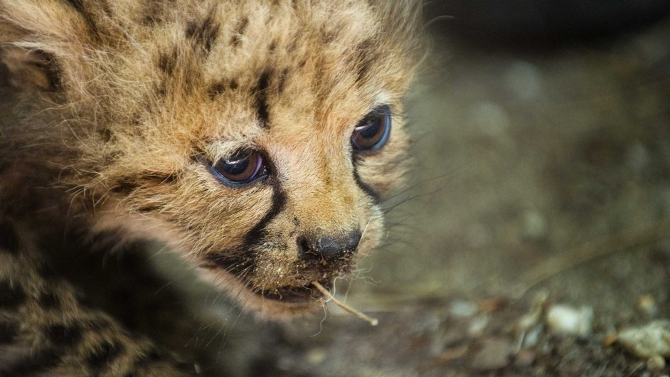 One of six cheetah cubs walks in their enclosure at the Burgers Zoo in Arnhem, The Netherlands