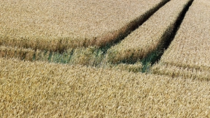 The tracks of a tractor cut through a field of wheat near Bad Kissingen, Germany