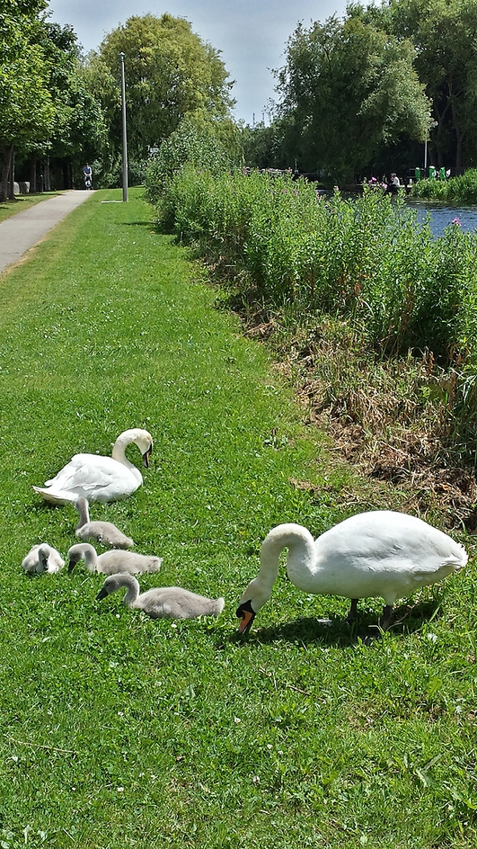 Save Our Swans!
