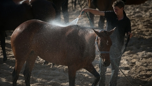 Polo ponies are prepared for the annual beach polo competition being held on the beach at Watergate Bay, Cornwall