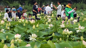 Visitors take snapshots as they walk among lotus flowers in full bloom at Gangneung  South Korea