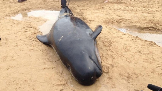 Beached Pilot Whales In Donegal