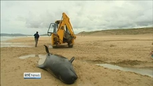 Whales become stranded on beach in Donegal for second time