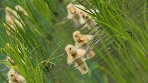 Rice farmers use ducks to tackle insects and weeds in Ichikawa, Japan