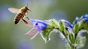 A bee gathers nectar from a flower in Pomarede, southern France
