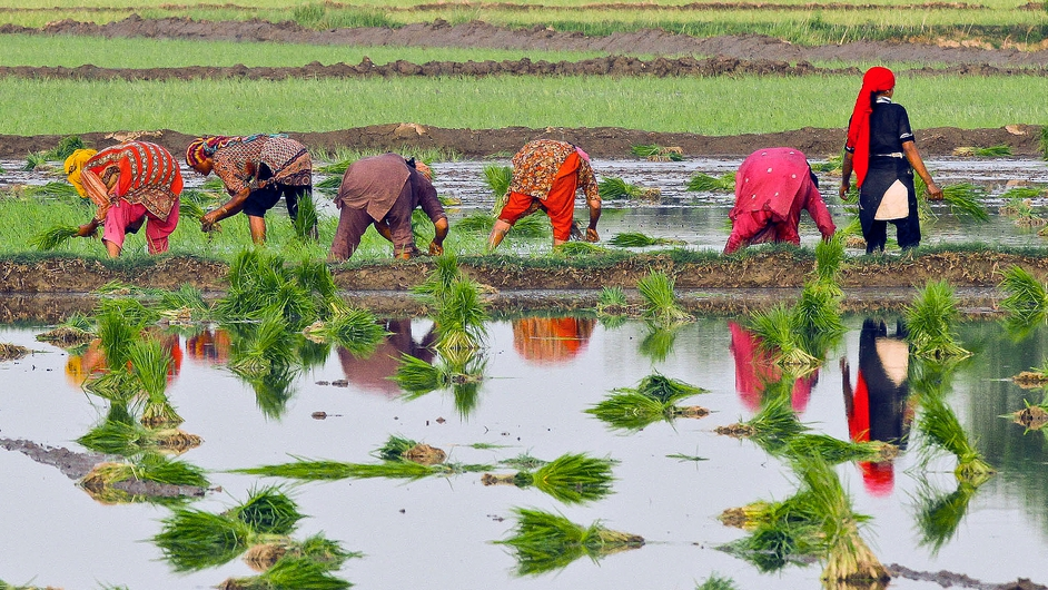 Women plant paddy seedlings in Norowal, Pakistan